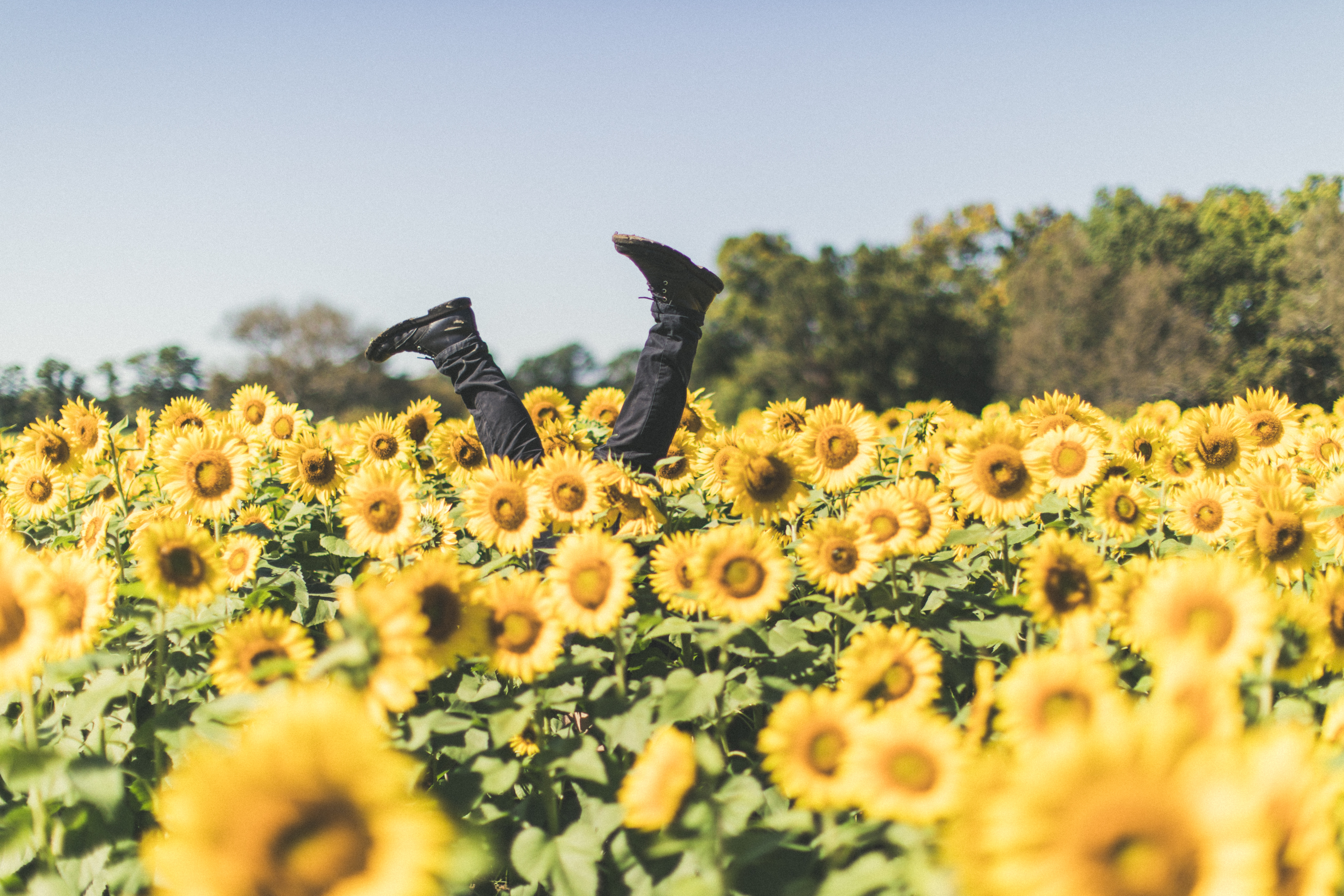 legs sticking out of a field of sunflowers
